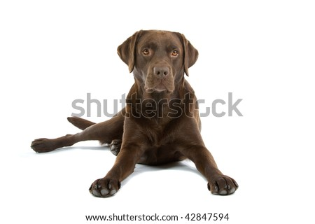 Closeup of chocolate colored labrador retriever dog isolated on white background.