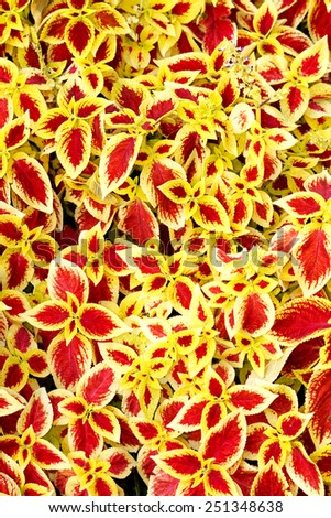 Closeup of coleus cultivar with red and yellow leaves in summer garden - stock photo
