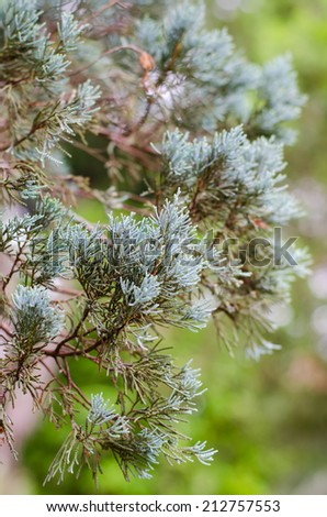 Closeup of Colorado Blue Spruce Tree