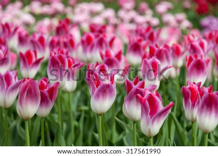 Closeup Of Colorful Tulips in a Dutch Flower Field in Summer - stock photo