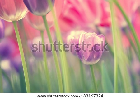 Closeup of colorful tulips.Vintage photo - retro filter effect used. - stock photo