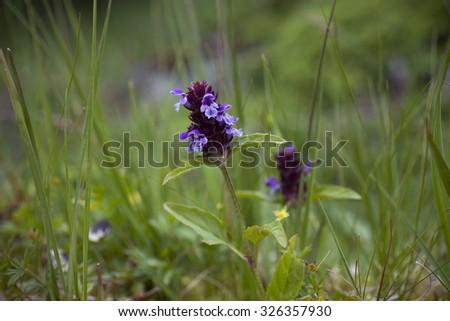 Closeup of common self-heal (Prunella vulgaris) flowers.  - stock photo