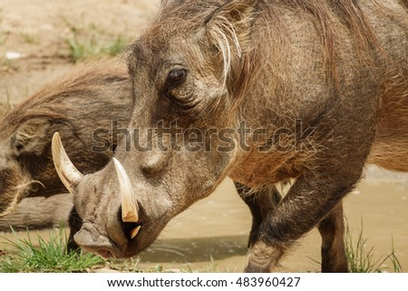 Closeup of common warthog eating in the grass
