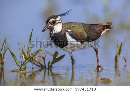 Closeup of Crested Female Northern lapwing (Vanellus vanellus) wader bird feeding in shallow water - stock photo
