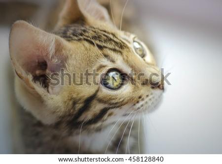 Closeup of Curious Bengal Kitten - stock photo