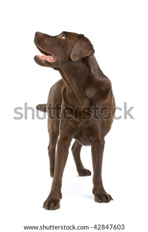 Closeup of cute chocolate labrador dog isolated on white background