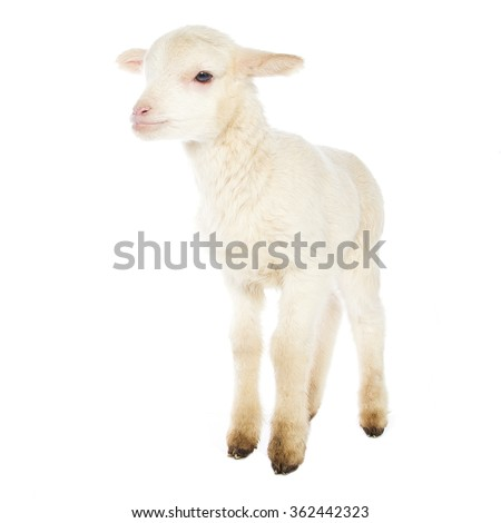 Closeup of cute lamb on the white background
