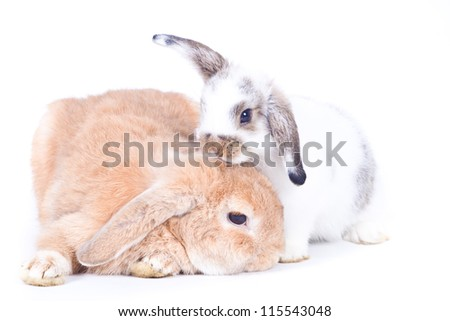Closeup of  cute two holland lop rabbit  take care of each  other on  white background, Love concepts - stock photo