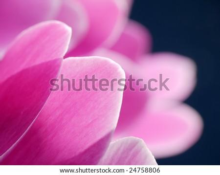 Closeup of cyclamen flower petals shot over dark blue background - stock photo