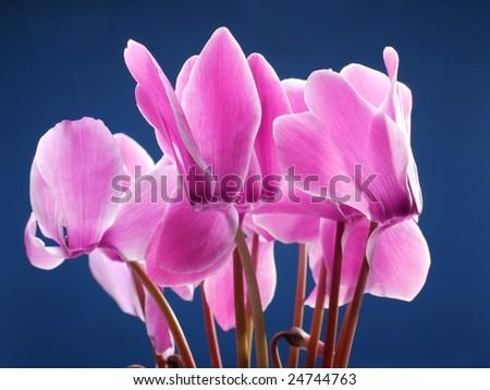 Closeup of cyclamen flowers shot over dark blue background - stock photo