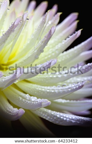 Closeup of dahlia flower macro studio shot - stock photo