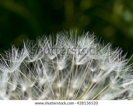 Closeup of dandelion on a green background. Natural texture - stock photo