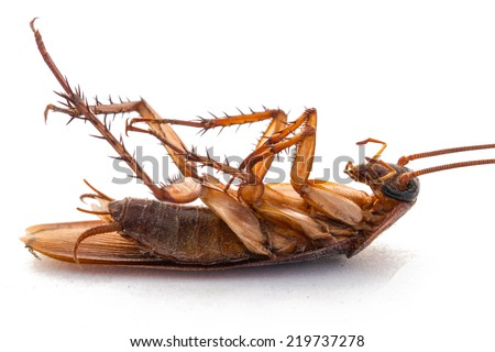 closeup of dead cockroach