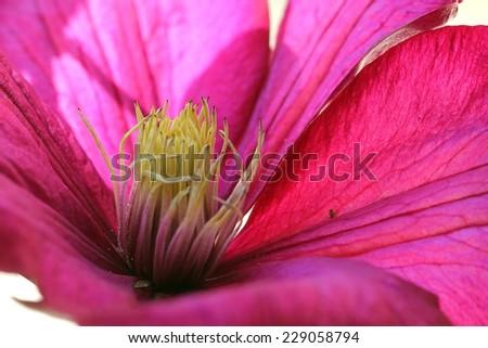 Closeup of deep pink clematis - stock photo
