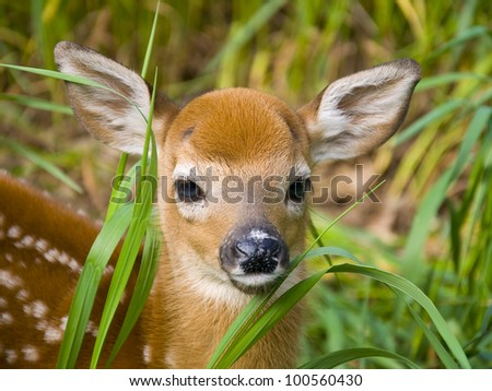 Closeup of Deer Fawn - stock photo