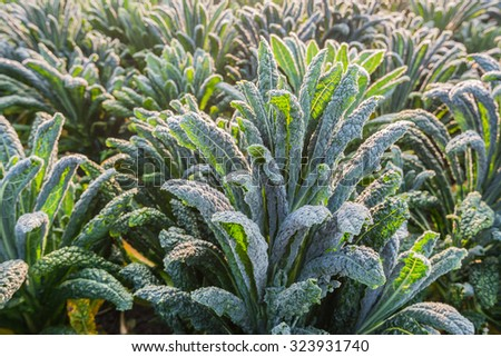 Closeup of dewy Cavolo nero or Lacinato kale in the field on a sunny day in the beginning of the fall season. - stock photo