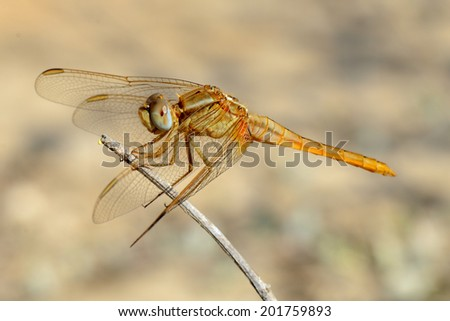 Closeup of dragonfly resting on a twig.