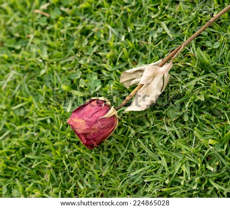 Closeup of dried abandoned rose against grassy background - stock photo