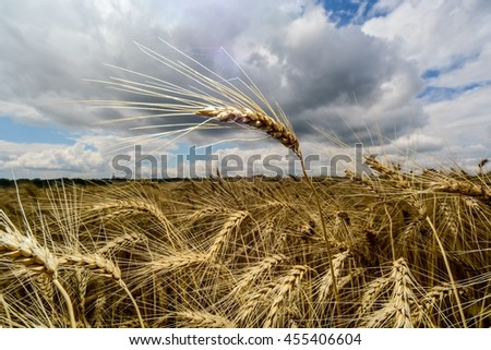 Closeup of ear of ripe wheat on a background of stormy sky  - stock photo