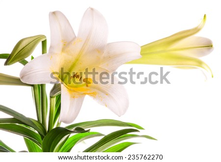 Closeup of Easter Lily (Lilium longiflorum) against a white background.  horizontal with copy space - stock photo