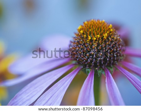 closeup of Echinacea flower on blue background - stock photo