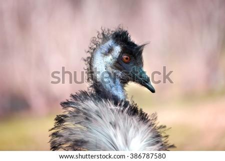 Closeup of emu with pastel background - stock photo