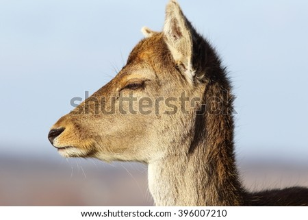 closeup of fallow deer doe head ( Dama dama, female portrait )