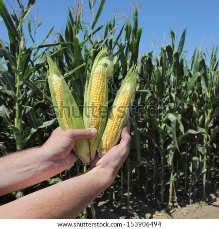 Closeup of farmers hands holding corn cobs in field - stock photo