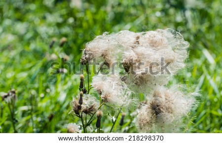 Closeup of feathery pappus and overblown flowers of Creeping Thistle or Cirsium arvense plants in their natural habitat in th end of the summer season. - stock photo