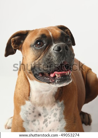closeup of female boxer dog on white background
