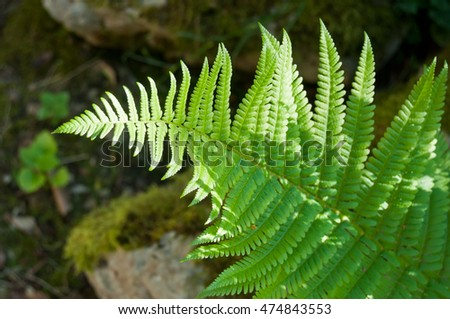 closeup of Fern leaf in a forest