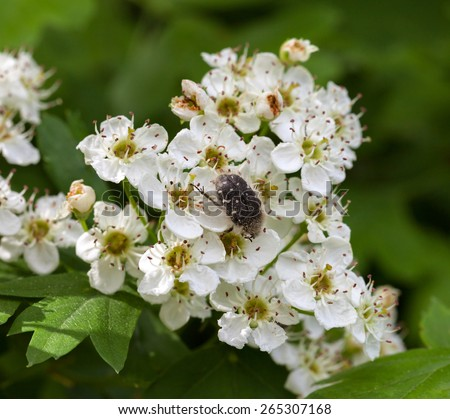 Closeup of flower beetle (Tropinota hirta) on flowering hawthorn (Crataegus monogyna)