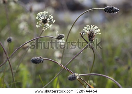 Closeup of flowering narrowleaf plantain/Plantago lanceolata. Plants are bent down after hard weather. Focus on the flower at the right hand. Photographed in Norway.   - stock photo