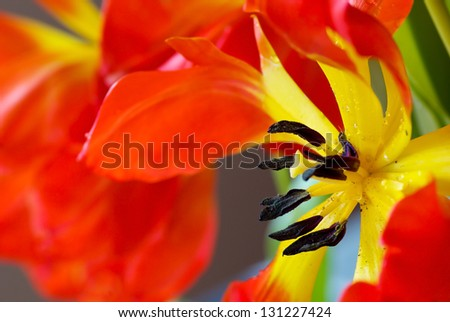 Closeup of flowering red and yellow tulip. - stock photo