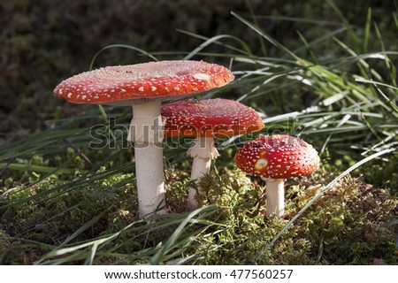 Closeup of fly agaric (Amanita muscaria) growing in grass