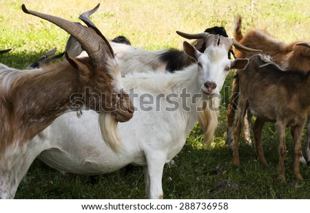Closeup of free Goats grazing in the meadow - stock photo