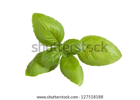 Closeup of fresh basil sprig isolated on a white background. - stock photo
