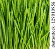 closeup of fresh green spring grass with wet drops - stock photo