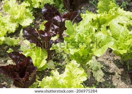 closeup of fresh red and green lettuces in field