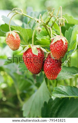 Closeup of fresh red strawberries growing on the vine