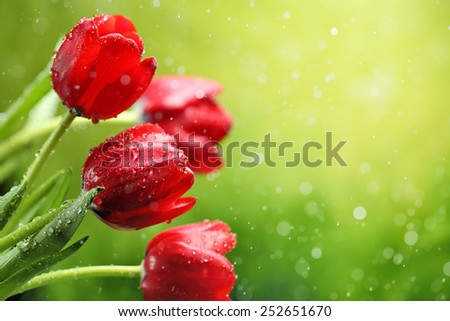 Closeup of fresh tulip flowers on green background - stock photo