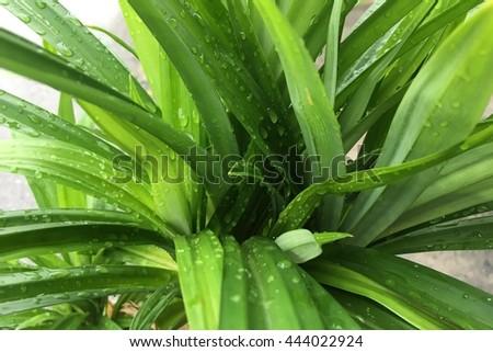 closeup of fresh water drop on pandan leaves. - stock photo