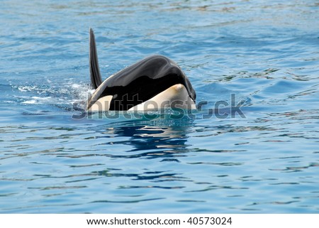 Closeup of front head of a killer whale (Orcinus orca) swimming in blue water - stock photo