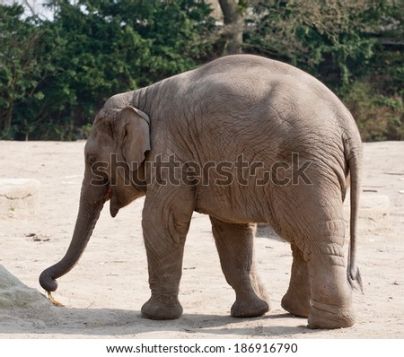 closeup of full-length elephant on outdoor zoo background