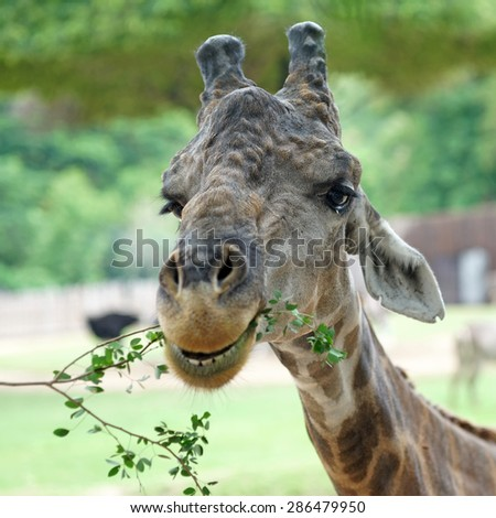 Closeup of giraffe eating food with green nature background - stock photo