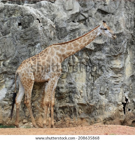 Closeup of giraffe in the zoo - stock photo
