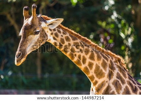 Closeup of giraffe profile head and long neck - stock photo