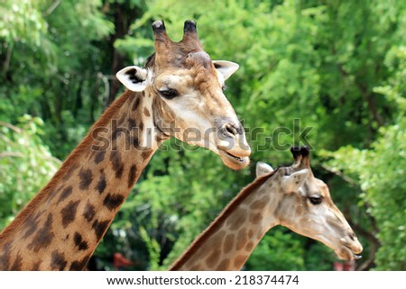 Closeup of giraffe with nature background - stock photo