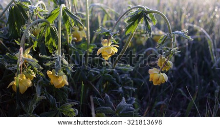 Closeup of globeflower (Trollius europaeus) flowers at early morning after night frost. Photographed in Estonia, Europe. - stock photo