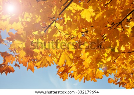 Closeup of golden leaves a sunny autumn day.